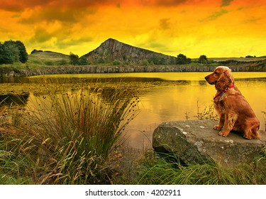 Golden Spaniel on lakeside rock as the sun sets Roman Wall in background in Northumberland England