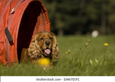 golden spaniel, who lies in agility tunnel