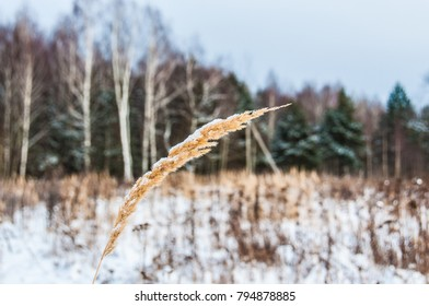 A golden spike of grass against winter field and forest
