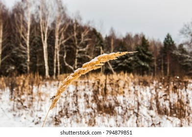 A golden spike of grass against winter field, forest and sky