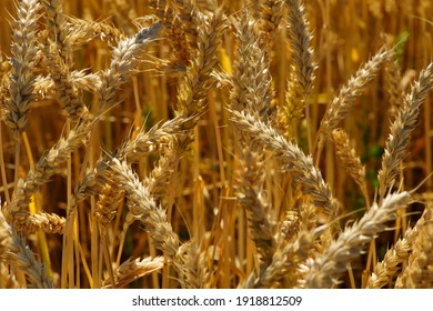 golden spikelets of wheat in the field close up. Ripe large golden ears of wheat against the yellow background of the field. Close-up, nature. The idea of a rich summer harvest, farming - Shutterstock ID 1918812509