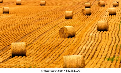 Golden straw field with hay bales. Harvest meadow in golden yellow colors.