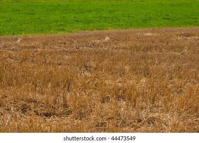 Golden straw and green grass