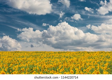 Golden summer sunflower in the sun, beautiful clouds in the blue sky