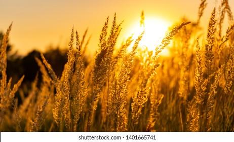 Golden summer sunset nature trees