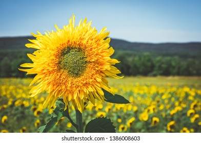 Golden sunflower in the sunny summer field, with mountains on the horizon.