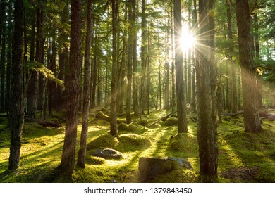 Golden sunlight breaks the dense lush green evergreen forest deep in the wilderness of the pacific northwest. The green woods and soft moss of the floor of the woodlands makes the scene magical.