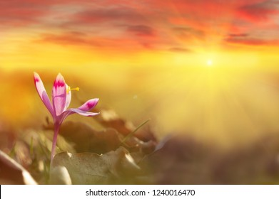 Golden sunlight on beautiful spring flower crocus growing wild. Dramatic sunrise with wildgrowing spring flower crocus. Amazing beauty of wild flowers in nature with colorful clouds