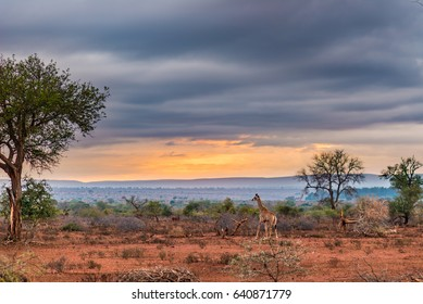 Golden sunrise in the african bush. Giraffe walking in wonderful landscape and dramatic colorful sky. Kruger National Park, famous travel destination in South Africa.