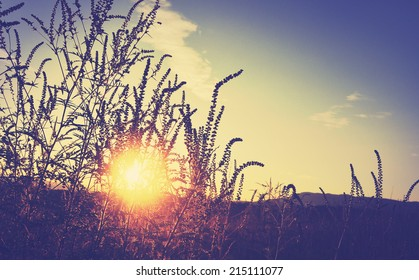Golden sunset on the meadow and ambrosia weed, rural natural background
