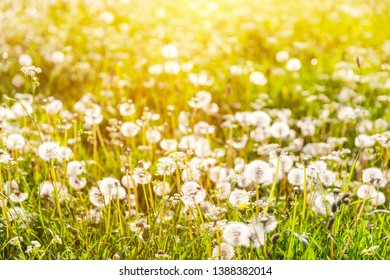 Golden sunset on the meadow with dandelions - seasonal allergy