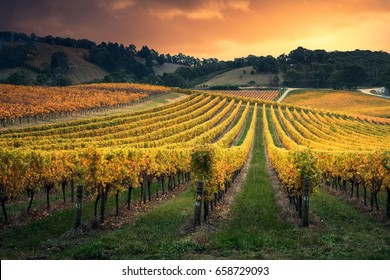 Golden sunset over South Australian vines