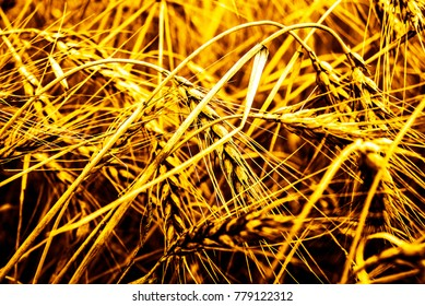 Golden sunset over wheat field. Close up of wheat ears - shallow depth of field