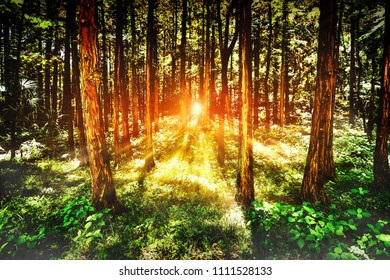 The golden sunshine of the sun goes down on a tree floor with the sunlight shining from the forest floor.