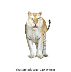 golden tabby tiger or strawberry tiger isolated