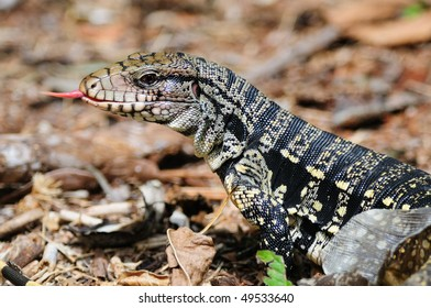 A Golden Tegu (lizard) tasting the air with its tongue and shedding its skin - Iguazu