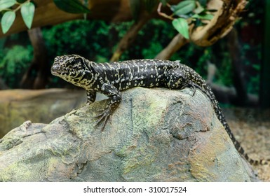 Golden Tegu (Tupinambis teguixin) rests on a stone in the Peruvian Amazon