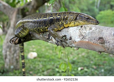 Golden Tegu (Tupinambis teguixin) rests in a tree in the Peruvian Amazon