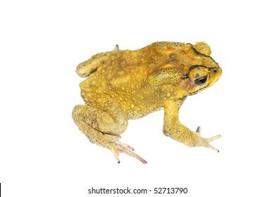 golden toad images stock photos vectors shutterstock