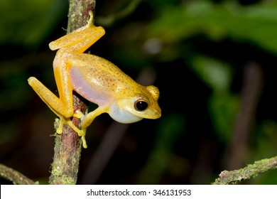 Golden Tree Frog,Dwarf frog legs,Aquixalus gracilipes