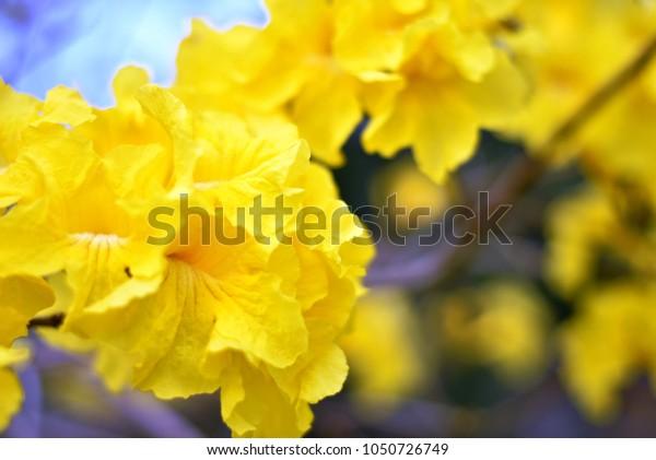 Golden Tree or Tellow pui ( Scientificname; Tabeuia chrysantha Nichols)