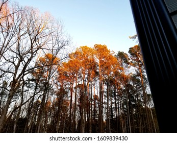 """Golden Trees in the Sun at the """"Golden Hour"""" Sky Glowing in evening sunset"""