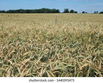 Golden triticale in grain field