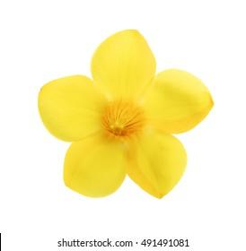 Golden trumpet, Allamanda, flower isolated on white