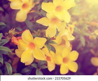 Golden Trumpet flower on tree vintage color tone