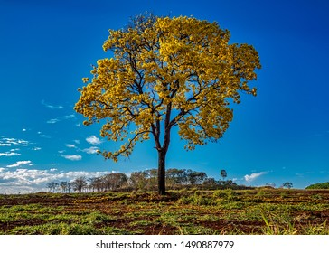 Golden trumpet tree, aka Yellow Ipe, isolated on harvested sugar cane field in sunny morning with blue sky. Tabebuia Alba tree,  aka Handroanthus albus, isolated on field with blue sky.