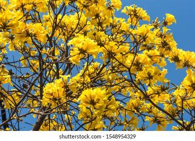 The golden trumpet tree flowers vivid colours