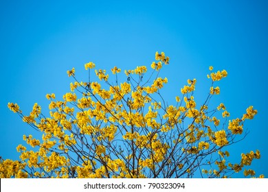 Golden trumpet tree at Park in on blue sky background.