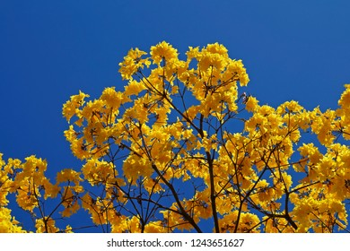 Golden trumpet tree or Yellow ipe tree (Handroanthus chrysotrichus), Brazil