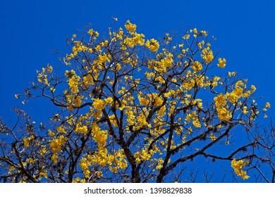 Golden trumpet tree or Yellow ipe tree (Handroanthus chrysotrichus), Tiradentes, Brazil