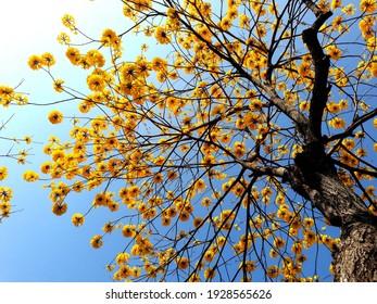 Golden trumpet tree or Yellow ipe tree (Handroanthus chrysotrichus)