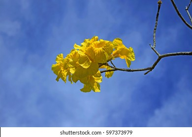 Golden Trumpet  tree.  Yellow trumpet-shaped blooms before the tree's leaves appear in the spring