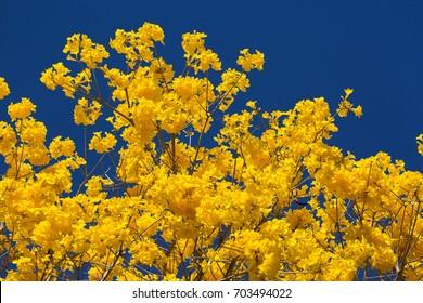 Golden Trumpet Trees in Brasilia
