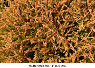 Golden Tuffet Arborvitae - Latin name - Thuja occidentalis Golden Tuffet