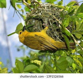 Golden Village Weaver known also as Ploceus cucullatus is in process of creating a home