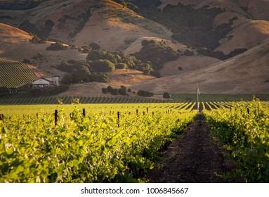 Golden Vineyard Rows