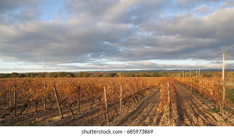 Golden vineyards of the Languedoc-Roussillon world famous wine making area in the region of Provence, France.