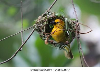 Golden Warbler Bird Building Nest