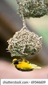 Golden weaver bird hanging below nest whilst building it.