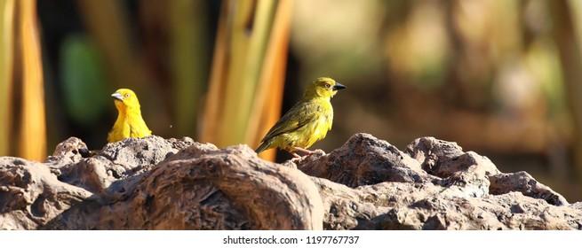Golden Weaver cooling down in birdbath