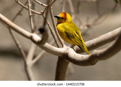 Golden Weaver is perched high on a sunny day