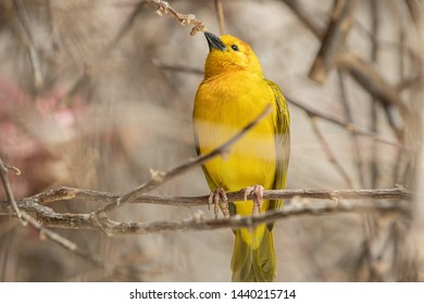 Golden Weaver is perched high on a sunny day watching the activi