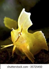 Golden Weedfish