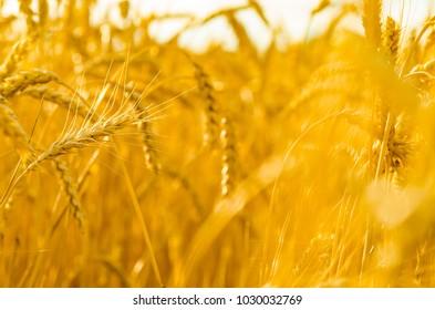 golden wheat, backgroung