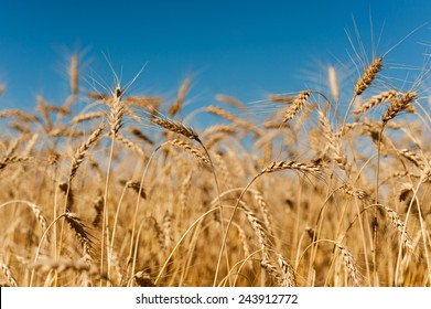 Golden wheat crops with blue sky in Canadian field