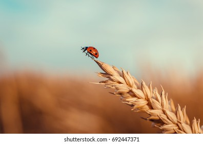Golden Wheat Ear with Ladybug. Ears Wheat or Rye close up. Wonderful Rural Scenery. Small Depth of Fields. Soft Focus. Instagram filter. Label art design. Idea of Rich Harvest. Macro